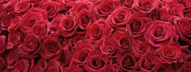 flowers-roses-red-rose-1680x1050-wallpaper_www.wallpaperhi.com_66