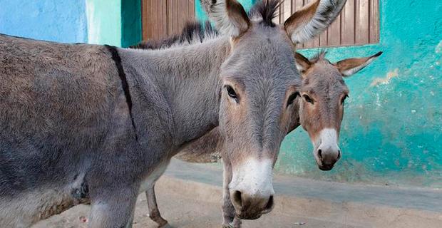 donkey_export_ethiopia